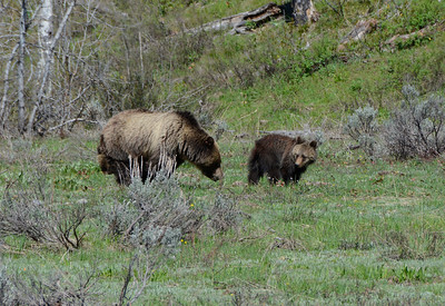 Grizzly mom and one of her cubs.