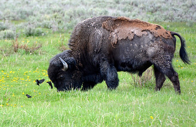 Bison with his little flying friends.