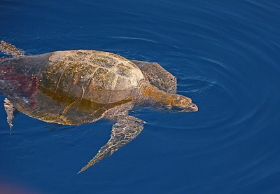 Sea Turtle at the tip of Baja