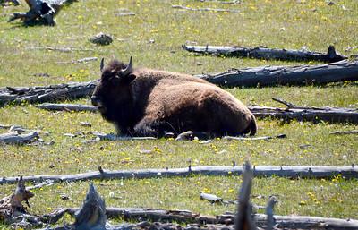 Pregnant Bison