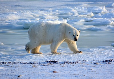 Polar Bear Strolling on the Tundra
