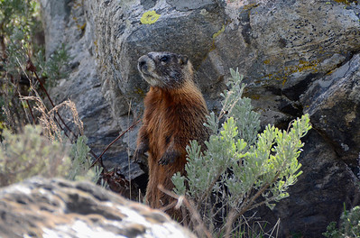 An Adult Female Marmot checking out things