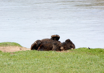 Male Bison Rolling in the Wallow