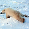 Polar Sliding on the Snow - Must have an itch.....hehehe