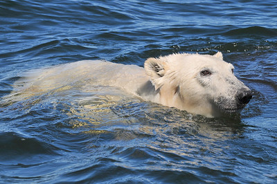 Polar Bear swimming in the Hudson River