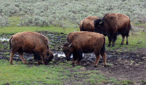 Bison Hanging out at the mud hole.