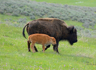 Bison and Newly Born Calf