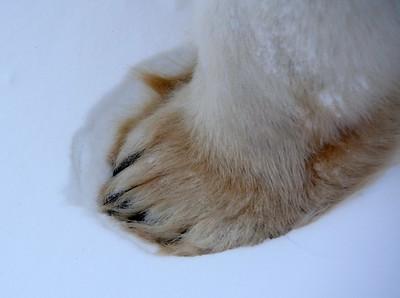 Polar Bear Paw in the Snow