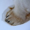 Polar Bear Paw in the Snow