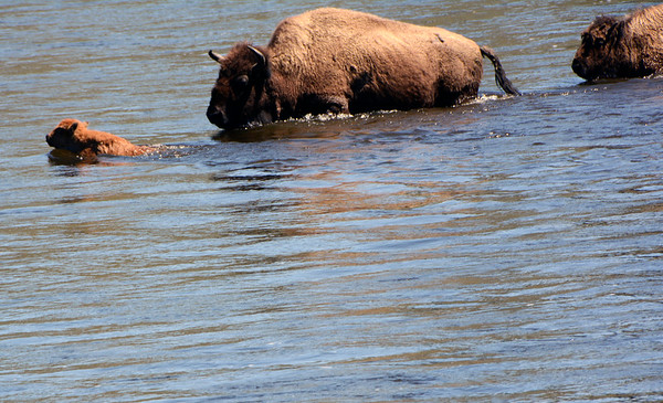 Herd of Bison/Buffalo walking and swimming thru the water.