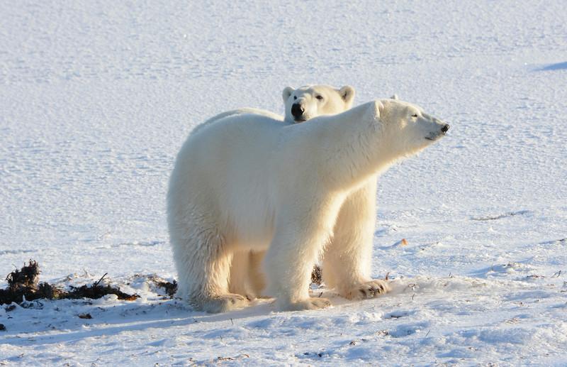 Polar Bear Cub Looking over Mom's back