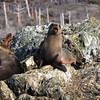 Young Guadalupe Fur Seals