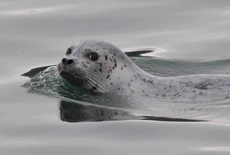 A curious but cautious Harbor Seal
