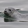 A curious but cautious Harbor Seal