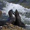 Guadalupe Fur Seals