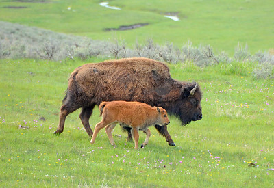 Adult Female Bison and Calf
