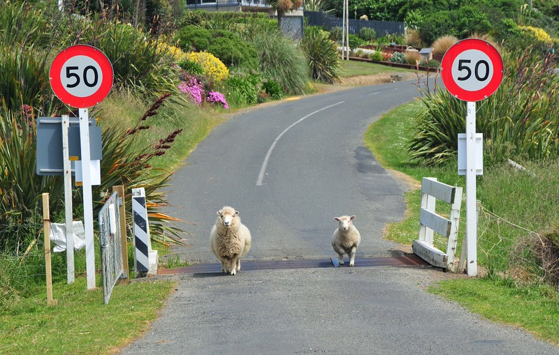 50 / 50 Two Lambs running along the Highway in New Zealand
