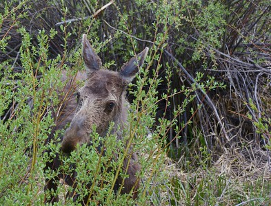 Young Moose eating the brush/bush.