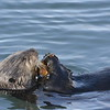 Sea Otter enjoying his meal