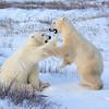 Young Polar Bears Playing