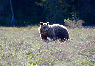 Young Recently Weaned Grizzly Bear