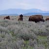 Mormon Row Bison