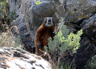 Yellow Belly Marmot Staring me down