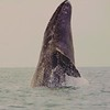 Beginning of Breach of a Gray Whale