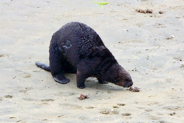 This Sea Otter 'sniffing' around as he comes to shore for a break.