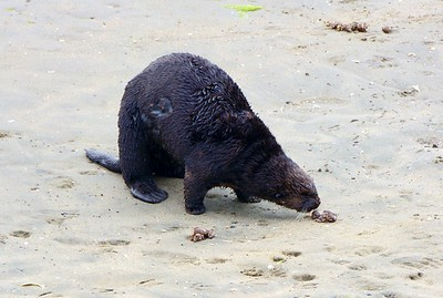 This Sea Otter 'sniffing' around as he comes to short for a break.