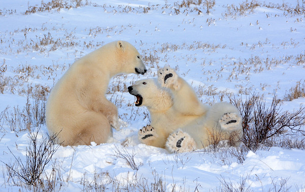 Playful pair of Young Polar Bear s