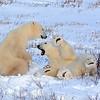 Playful pair of Young Polar Bears
