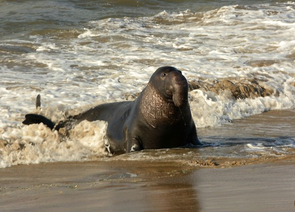 Norther Adult Male Elephant Seal