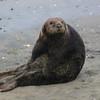Rare glimpse of a Sea Otter on the beach