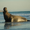 A Northern Elephant Seal
