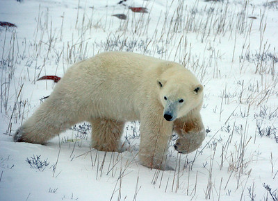 Cautious Polar Bear