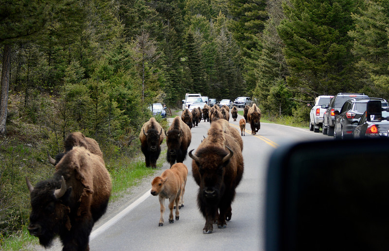 Bison Traffic Jam !