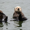 Pair of very cute Sea Otters