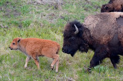 Young Bison Calf and Mom moving along the valley.