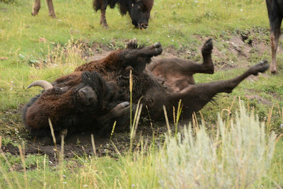 A male Bison showing some dominance by marking territory.