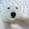 Young curious Polar Bear