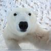Young curious Polar Bear