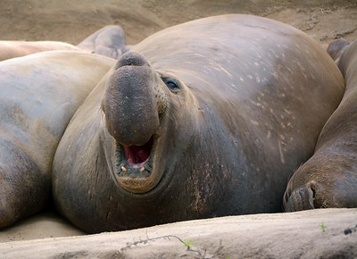 Elephant Seal Bull Vocalizing