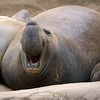 Elephant Seal Bull Vocalizing