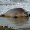 Pregnant Female Norther Elephant Seal
