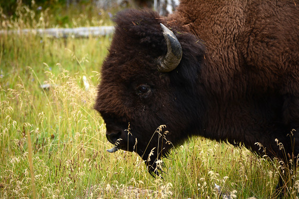 Bison sticking his tongue out