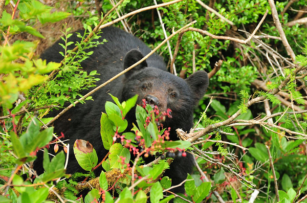 Adult Female Black Bear eating berries