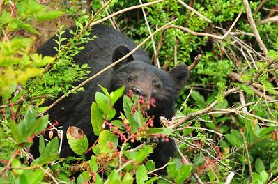 Adult Female Black Bear eating berries