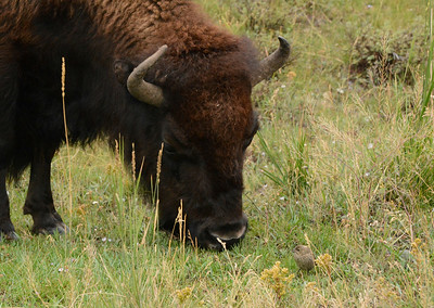 Note the little bird in front of the Bison's nose !