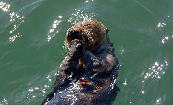 Sea Otter Eating some small clams
